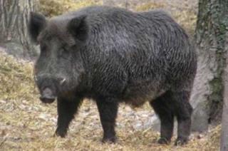 Запрещена охота на кабана в Правобережье