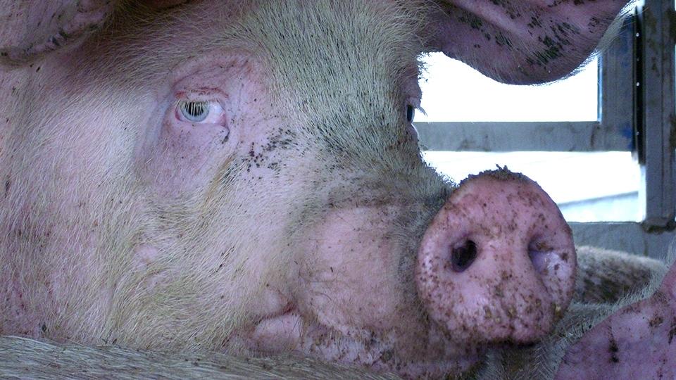 ВСаратовской области зафиксированы две новых вспышки африканской чумы свиней