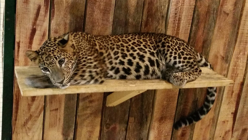 Арестован организатор контактного зоопарка вСаратове, где леопард напал надетей
