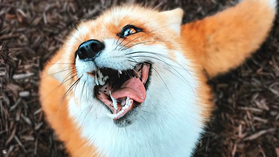 Вгороде Аткарске иокруге введен карантин из-за бешеной лисицы