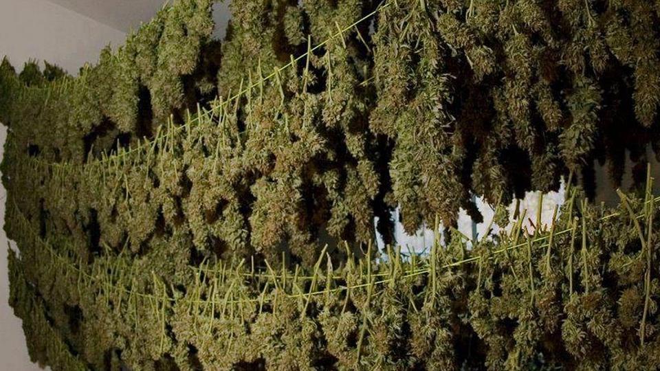 Как сушить дикую марихуану в какой стране не запрещено курить марихуану